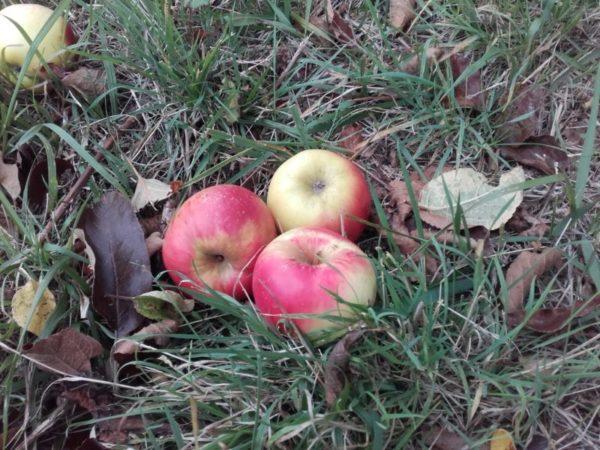 pomme passerose